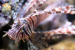 Red lionfish, a venomous coral reef fish Stock Photography