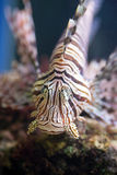 Red lionfish, a venomous coral reef fish Stock Photos