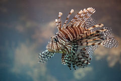 Red Lionfish Venomous Fish Royalty Free Stock Images