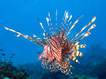 The Red Lionfish Stock Photography