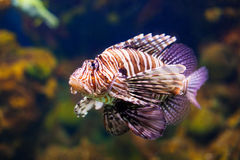 Red lionfish. Venomous living in coral reef Royalty Free Stock Photos