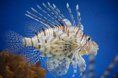 Red lionfish. In water with blue background and spreaded fin from close-up detail view Stock Photography