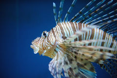 Red lionfish. In water with blue background and spreaded fin from close-up detail view Royalty Free Stock Photos
