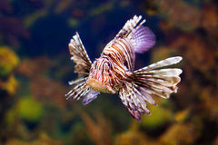 Red lionfish in water Royalty Free Stock Images