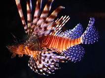 Red Lionfish illuminated. Close-up view of the Red Lionfish drifting with all its fins spread - illuminated in a dark setting Stock Image