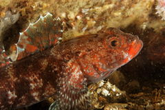 Red-lip goby (Gobius cruentatus) - Bay of Brest stock photos
