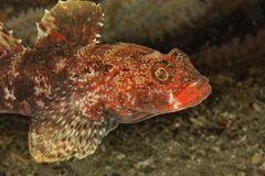 Red-lip goby (Gobius cruentatus) - Bay of Brest Stock Photography
