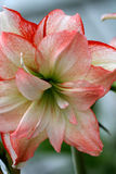 Red Lips. Macro of White Amaryllis with Red Edges royalty free stock photography