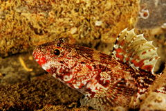 Red lips goby stock photos