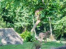Cheetah or cheeta, fastest land animal, large felid of the subfamily Felinae walking on the grass. Red list animal - cheetah or cheeta, fastest land animal Royalty Free Stock Images