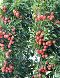 red litchi fruits at tree Royalty Free Stock Photos
