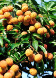 Red litchi fruits at tree Royalty Free Stock Photography