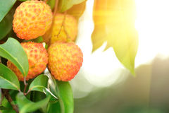 Red litchi fruits at tree Royalty Free Stock Image
