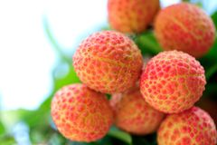 Red litchi fruits at tree Stock Image