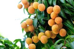 Red litchi fruits at tree Stock Images