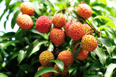 Red litchi fruits at tree Royalty Free Stock Photo