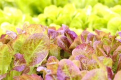 Red little baby lettuce Stock Photo