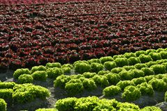 Red Little Baby Lettuce, Fields From Spain Stock Image