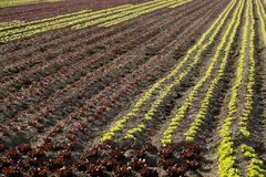 Red little baby lettuce, fields from spain Royalty Free Stock Images