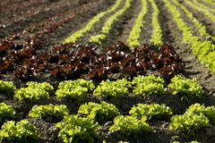 Red little baby lettuce, fields from spain Royalty Free Stock Photography