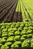 Red little baby lettuce, fields from spain Royalty Free Stock Photo