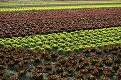 Red little baby lettuce, fields from spain. Red little baby lettuce in the fields from spain Royalty Free Stock Photos