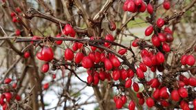 Red little berry. Red winter berry royalty free stock photo