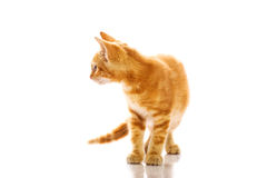Red little cat Royalty Free Stock Photography