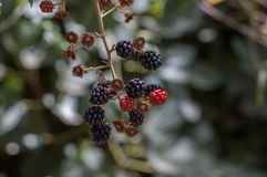 Red little clusters of berry fruits on tree under natural light Stock Photography