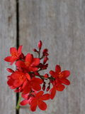 Red little flowers on background.  Stock Photography
