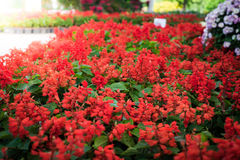 Red little flowers Stock Image