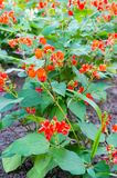 Red little flowers of Runner Bean Plant Phaseolus coccineus gr. Owing in the garden Stock Photo