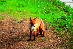 Red little fox on a green lawn royalty free stock photos