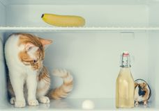 Red little kitten playing with egg in the fridge with banana and guinea pig behind the bottle. Close-up. Red little kitten playing with egg in the fridge with Royalty Free Stock Photo