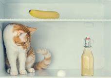 Red little kitten playing with egg in the fridge with banana and guinea pig behind the bottle. Close-up. Red little kitten playing with egg in the fridge with Stock Photos