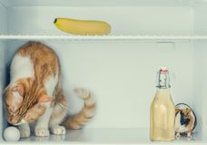 Red little kitten playing with egg in the fridge with banana and guinea pig behind the bottle. Close-up. Red little kitten playing with egg in the fridge with Royalty Free Stock Photography