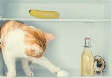 Red little kitten playing with egg in the fridge with banana and guinea pig behind the bottle. Close-up. Red little kitten playing with egg in the fridge with Royalty Free Stock Photos