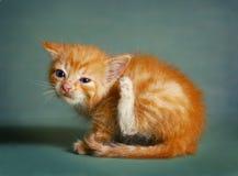 Red little kitten scratch itching ear Stock Photo
