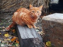 A red little kitten sits on a log and hunts in the autumn day. Photo stock image