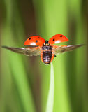 Red little ladybird flying away from fresh green grass Royalty Free Stock Photos