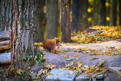 Red little squirrel in the forest autumn whith tree stock photo