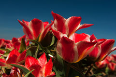 Red little tulips Royalty Free Stock Image