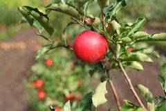 Red Liza apples on apple tree branch. Stock Photo