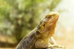 Red lizard stock photos
