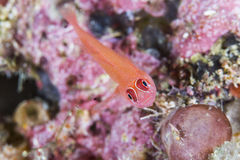 Red lizard fish Stock Photos
