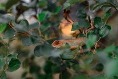 Lizard on the branch in the jungle Stock Image