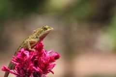 Red lizard in nature Royalty Free Stock Images