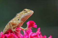 Red lizard in nature Stock Photo