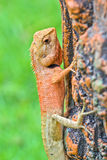 Red Lizard Stock Photo