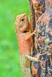 Red Lizard Stock Photo
